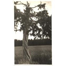 Vana männipuu kusagil...
