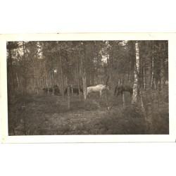 Hobused metsas, hobune,...